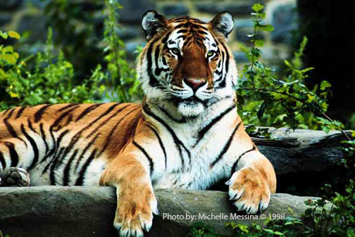Tiger Pic by: Michelle Messina Year of the Tirger